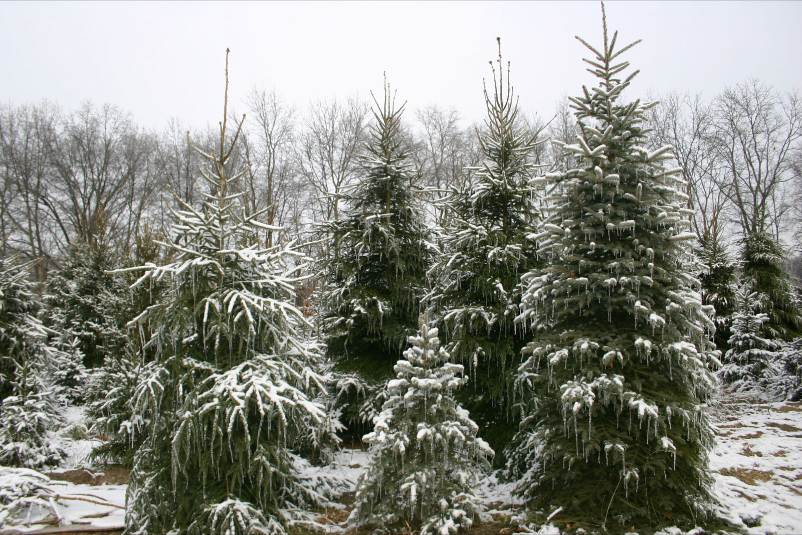 Tree Farm - U-Cut Christmas Trees